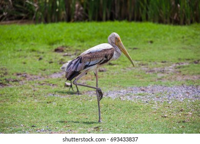 The Lesser Adjutant Stork Bird