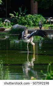 Lesser adjutant stork in its habitat, zoo Thailand