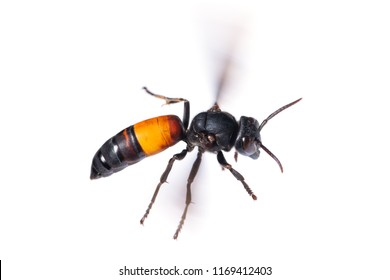 A lesser banded hornet or Vespa affinis is flying isolated on white background
