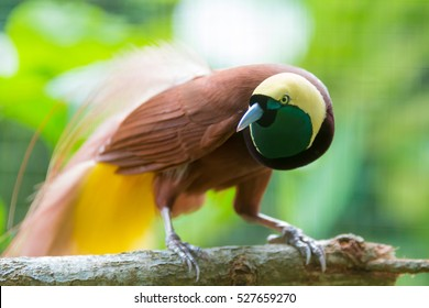 Lesser Bird of Paradise or Paradisaea minor. One Of the most exotic birds in Papua New Guinea.