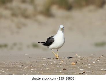 Lesser Black Backed Gull on the beach