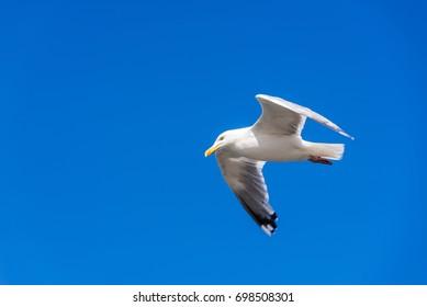 Lesser black-backed gull and blue sky