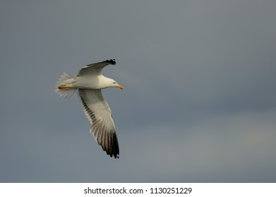 Lesser black-backed gull in flight, north Sea, romsdalsfjord, norway