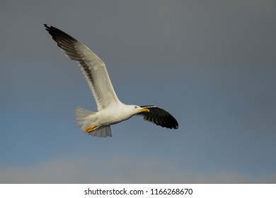 Lesser black-backed gull in flight, north Sea, romsdalsfjord, norway (Larus fuscus)
