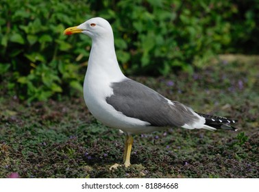 Lesser Black-backed Gull (Larus fuscus) on Skomer Island, Wales, UK