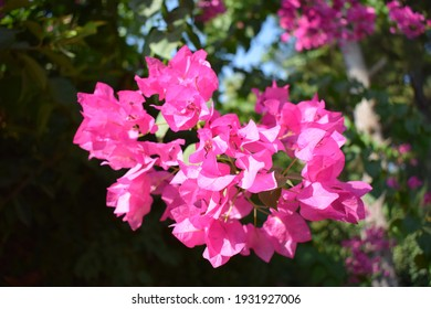 Lesser bougainvillea (Bougainvillea glabra), bougainvillea flowers close-up, macro, view. Bougainvillea flowers texture and background.