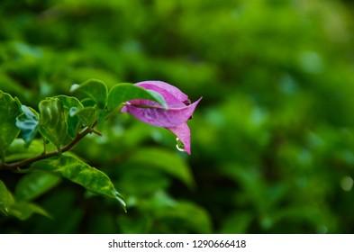 Lesser bougainvillea (Bougainvillea glabra), bougainvillea flowers in rainforest, close-up, macro, view