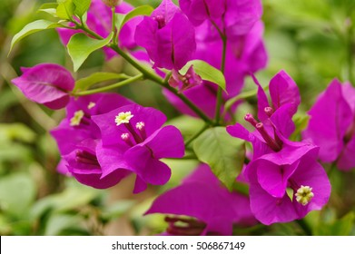 Lesser bougainvillea (Bougainvillea glabra), bougainvillea flowers in rainforest, close-up, macro, view