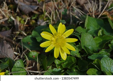 Lesser celandine or pilewort from the buttercup or Ranunculaceae family of plants Latin name ficaria verna known in America as a fig buttercup growing in a meadow in Italy by Ruth Swan