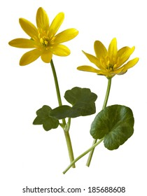 Lesser Celandine wild flower cut-out against a white background.