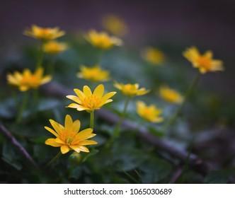 Lesser Celandine Wildflowers