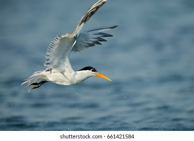 Lesser crested tern flying