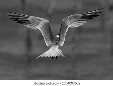 Lesser Crested Tern hovering at Busaiteen coast, Bahrain