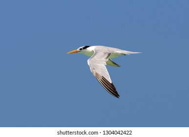 Lesser Crested Tern (Sterna bengalensis) in flight