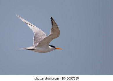 A Lesser crested Tern (Thalasseus bengalensis) in flight against a clear blue sky, Gujarat, India