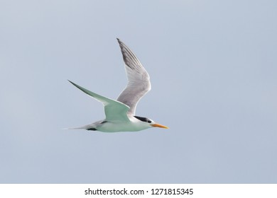 Lesser Crested Tern Thalasseus bengalensis in flight at Michaelmas Cay, Great Barrier Reef, Queensland, Australia