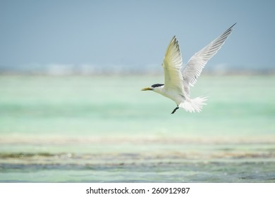 Lesser crested tern (Thalasseus bengalensis) fishing at sea