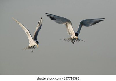 Lesser crested terns flying