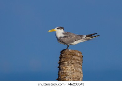 Lesser Crested Tern(Thalasseus bengalensis) in real nature in Thailand