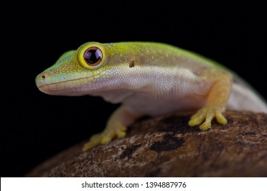 Lesser day gecko (Phelsuma pusilla pusilla)