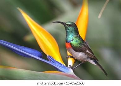 Lesser double collared sunbird in Kirstenbosch Botanical gardens in Cape Town South Africa