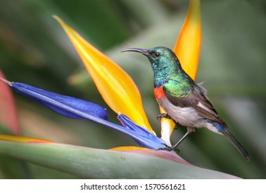 Lesser double collared sunbird on a colourful flower in Kirstenbosch Botanical garden in Cape Town South Africa