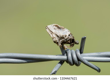Lesser Earless Lizard (Holbrookia maculata) Head Impaled on Barbed Wire by a Loggerhead Shrike (Lanius ludovicianus)