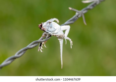 Lesser Earless Lizard (Holbrookia maculata) Impaled on Barbed Wire by a Loggerhead Shrike (Lanius ludovicianus)