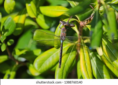 Lesser Emperor dragonfly Latin Anax Parthenope feeding on a pittosporum tobira, mock orange, Japanese cheesewood or Australian laurel leaf family pittosporaceae in springtime in Italy by Ruth Swan