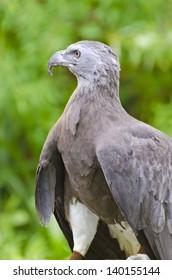 Lesser Fish Eagle ( Ichthyophaga humili )  bird hunters waiting time to hunt