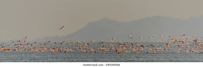 Lesser Flamigos taking off from water at creek near Bhandup Pumping Station in Mumbai