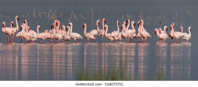 Lesser Flamingo (Phoenicoparrus minor) - Lake Nakuru