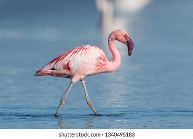 Lesser flamingo (Phoenicopterus minor) Malaga, Spain
