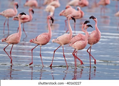 Lesser flamingos congregate by the thousands in the shallow alkaline waters of lake Nakuru in Lake Nakuru National Park, Kenya.
