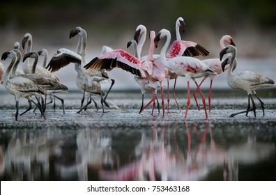 Lesser Flamingos juvenile and adult, Bogoria lake, Kenya