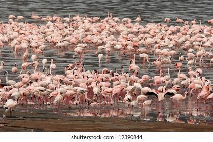 Lesser Flamingos wading in water at Lake Bogoria National Park. Kenya