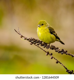 The lesser goldfinch is a very small songbird of the Americas. Its relatives the American goldfinch and Lawrence's goldfinch. Kenneth Hahn, Los Angeles California.