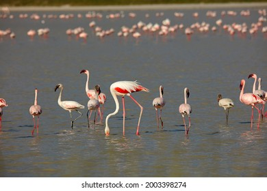 Lesser and greater flamingoes on flooded Sua Pan, Nata Bird Sanctuary, Botswana, Africa