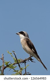 Lesser Grey Shrike; Lanius minor