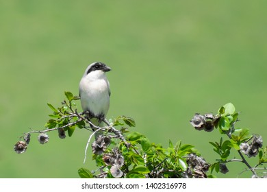 Lesser Grey Shrike (Lanius Minor) perched on a green bush. Beautiful songbird from semi-desert environment with soft background. Georgia