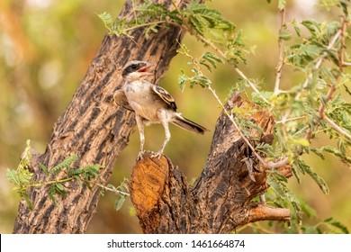 Lesser Grey Shrike looking for food , abudhabi, uae