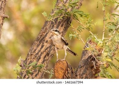 Lesser Grey Shrike looking for food, abudhabi, uae