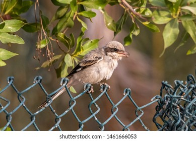 Lesser Grey Shrike sitting on a wire net,abudhabi, uae