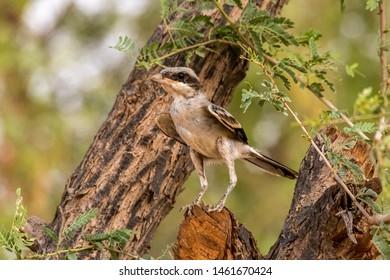Lesser Grey Shrike  sitting on a branch, abudhabi, uae
