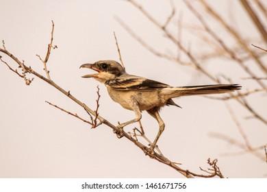 Lesser Grey Shrike sitting on branch and look for food,abudhabi , uae