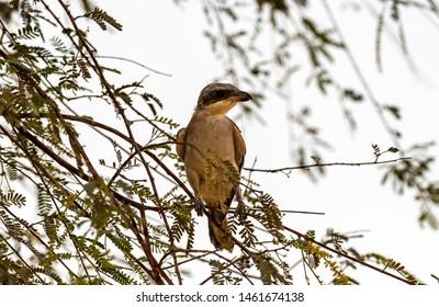 Lesser Grey Shrike sitting on the branches n looking for food, abudhabi, uae
