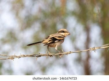 Lesser Grey Shrike sitting on the wire, abudhabi, uae