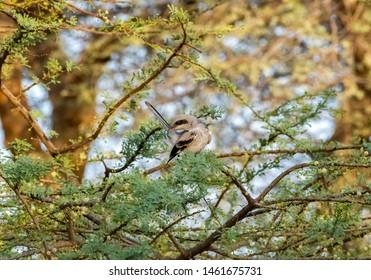 Lesser Grey Shrike sitting on the branches, abudhabi, uae