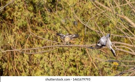 Lesser Grey Shrikes spreading wings on the branches, abudhabi, uae