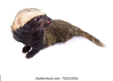 Lesser grison, Galictis cuja